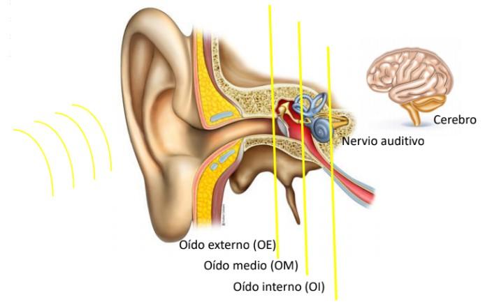 Percepción sonora oido